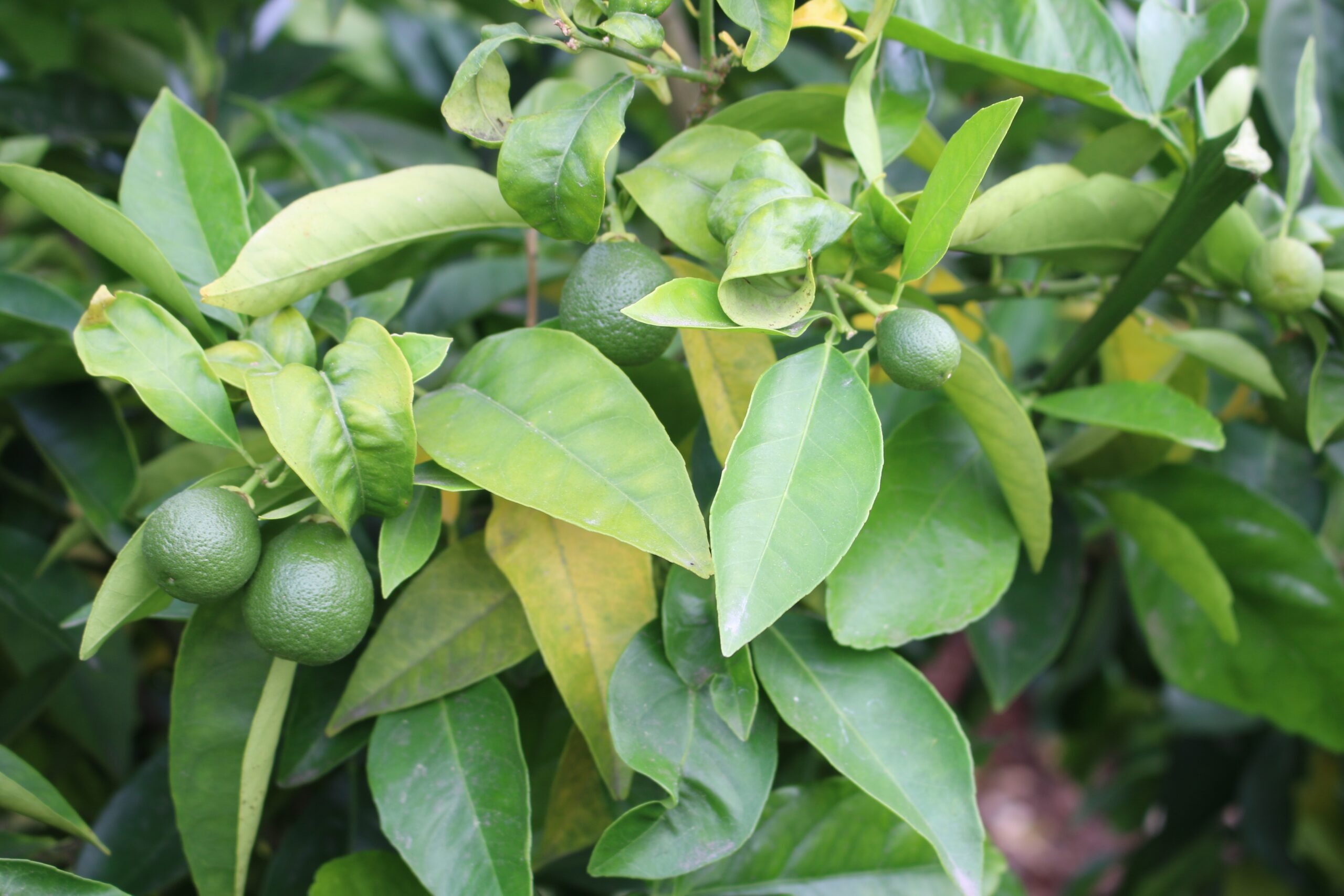 Power Up on Citrus Fruits for Health